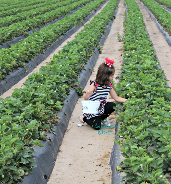 strawberry picking alvin tx