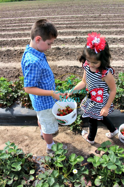 strawberry picking houston